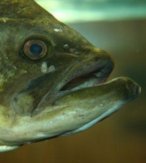 new largemouth bass virus reovirus