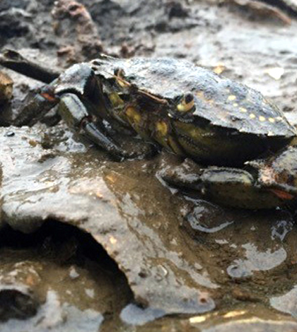 invasive green crab