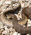 lake erie watersnake endangered