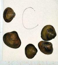 microplastics sculpin mussels