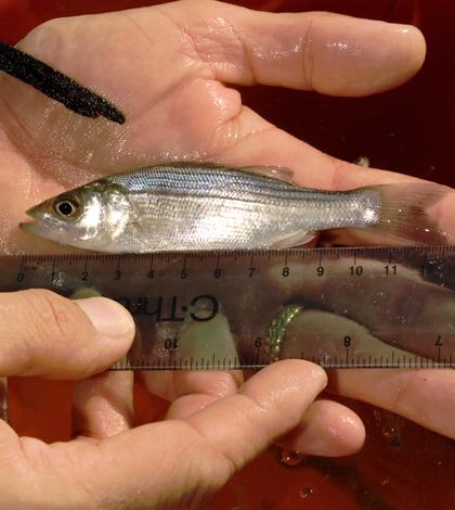 striped bass hudson river