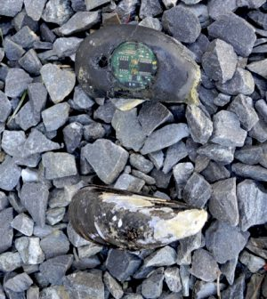 brian helmuth northeastern university robomussels