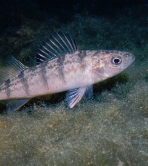 Lake Michigan yellow perch commercial fishing ban
