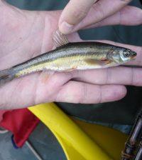 ontario lakes non-native bass