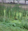 Duckweed