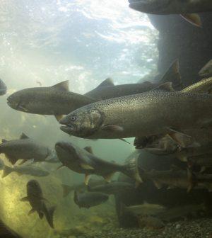 California Salmon