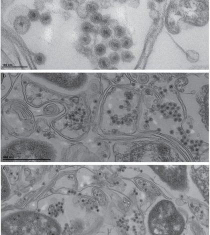 autolykiviridae