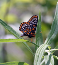 Beaver Creek's Baltimore Checkerspots