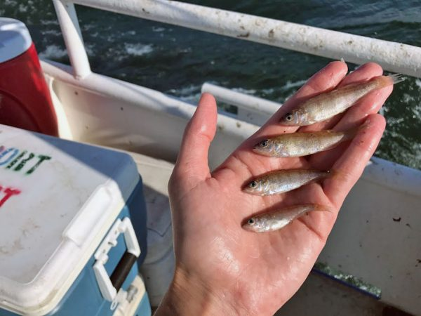 Erie's Hypoxia and Yellow Perch